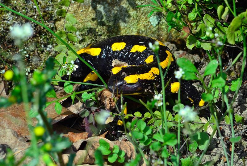 feuersalamander_botanischer_garten_bielefeld
